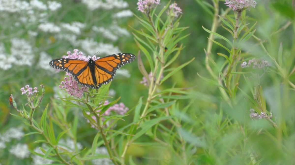Butterfly in the pollinator garden