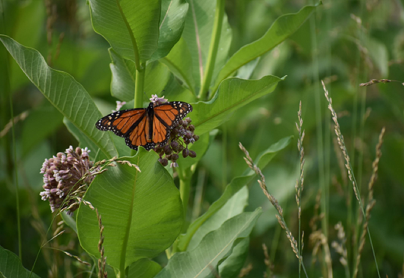 Butterfly in South River Greenway