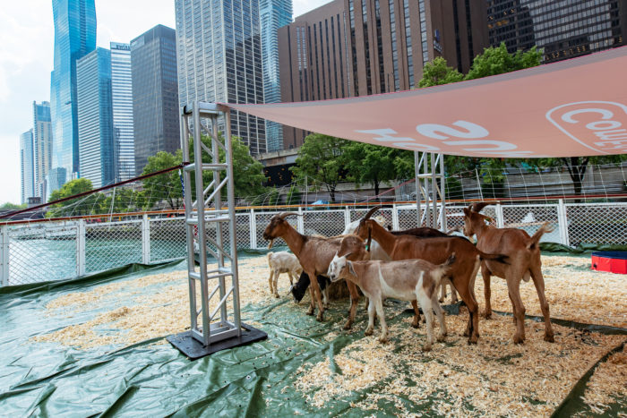 Goats on a Boat 1