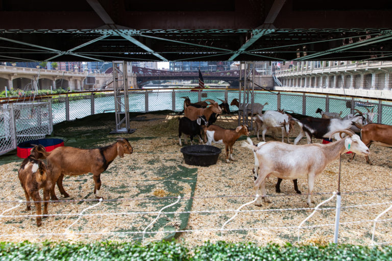 Goats on a Boat 19
